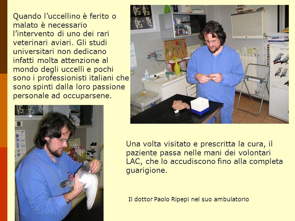Quando l'uccellino è ferito o malato è necessario l'intervento di uno dei rari veterinari aviari. Gli studi universitari non dedicano infatti molta attenzione al mondo degli uccelli e pochi sono i professionisti italiani che sono spinti dalla loro passione personale ad occuparsene.