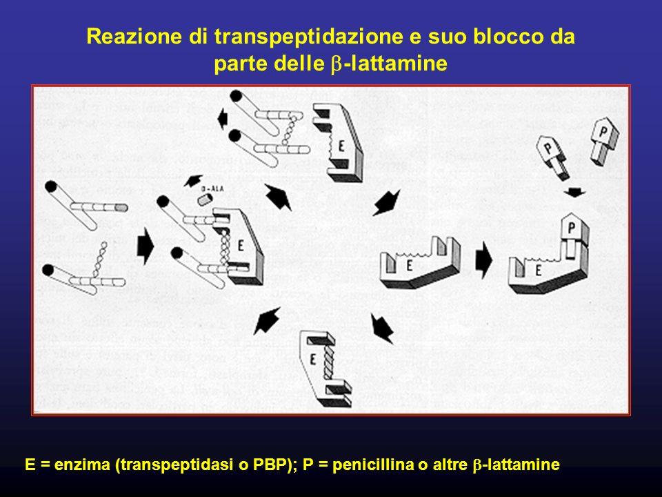 Reazione di transpeptidazione e suo blocco da parte delle b-lattamine