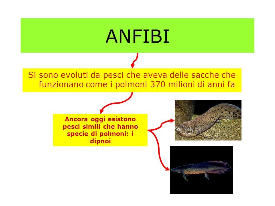 ANFIBI Si sono evoluti da pesci che aveva delle sacche che funzionano come i polmoni 370 milioni di anni fa.
