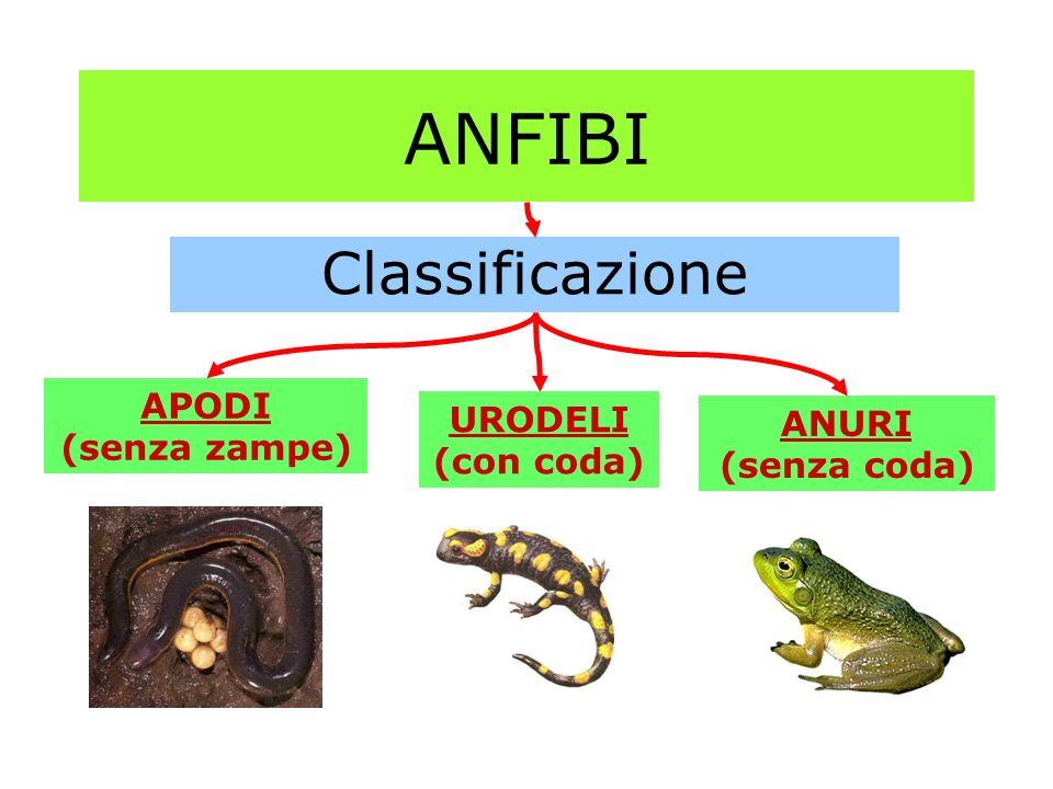ANFIBI Classificazione APODI URODELI (con coda) ANURI (senza coda)
