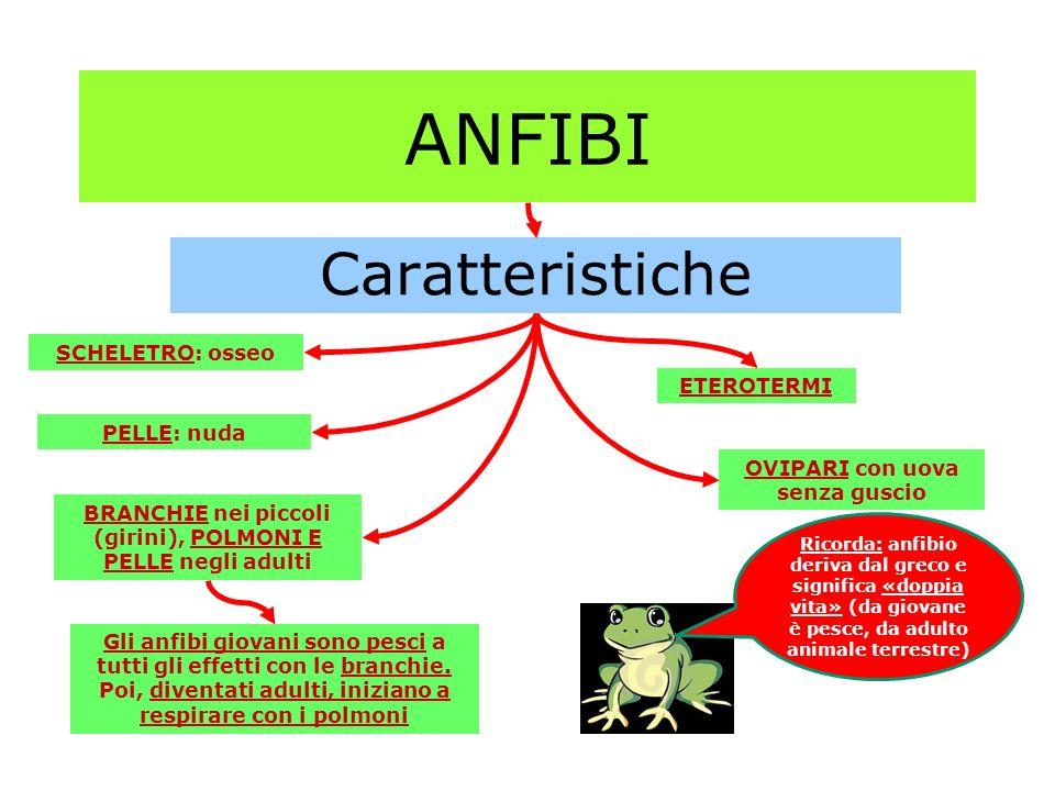 ANFIBI Caratteristiche SCHELETRO: osseo ETEROTERMI PELLE: nuda