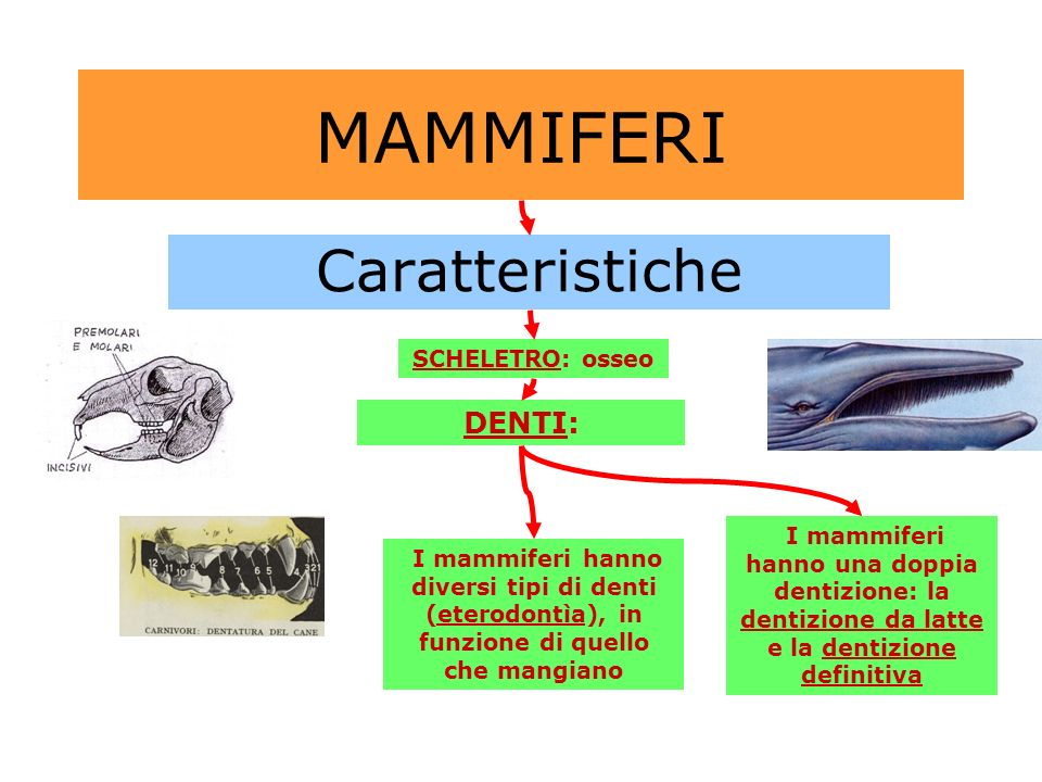 MAMMIFERI Caratteristiche DENTI: SCHELETRO: osseo