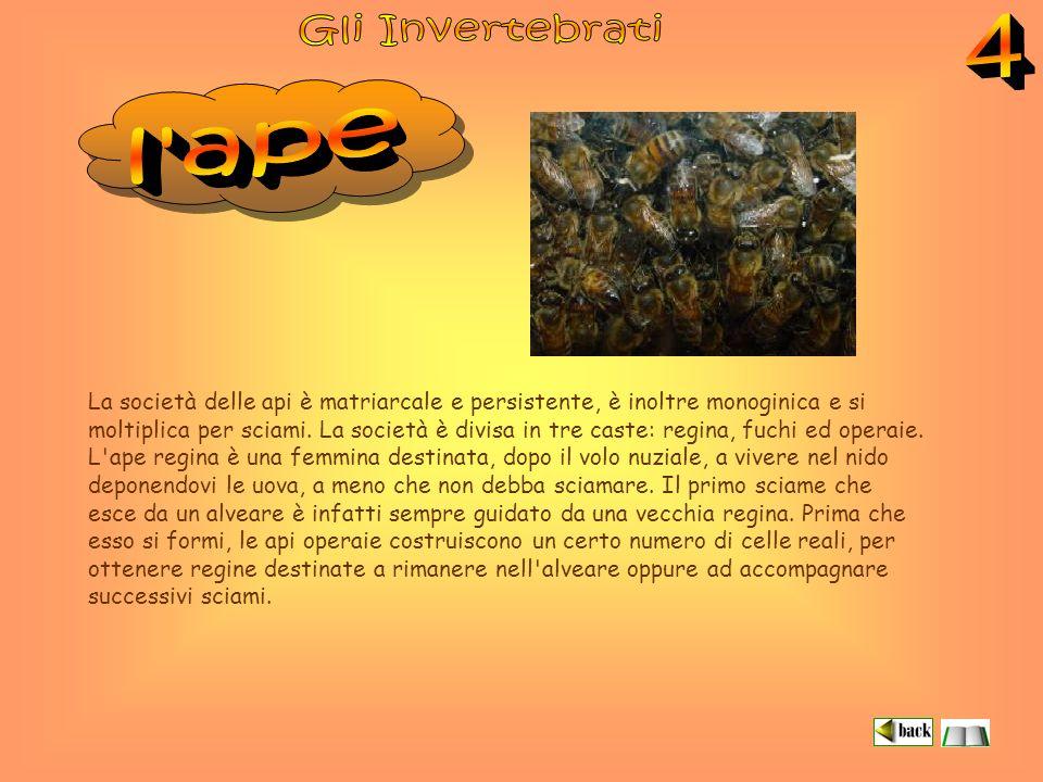 Gli Invertebrati 4. l ape.