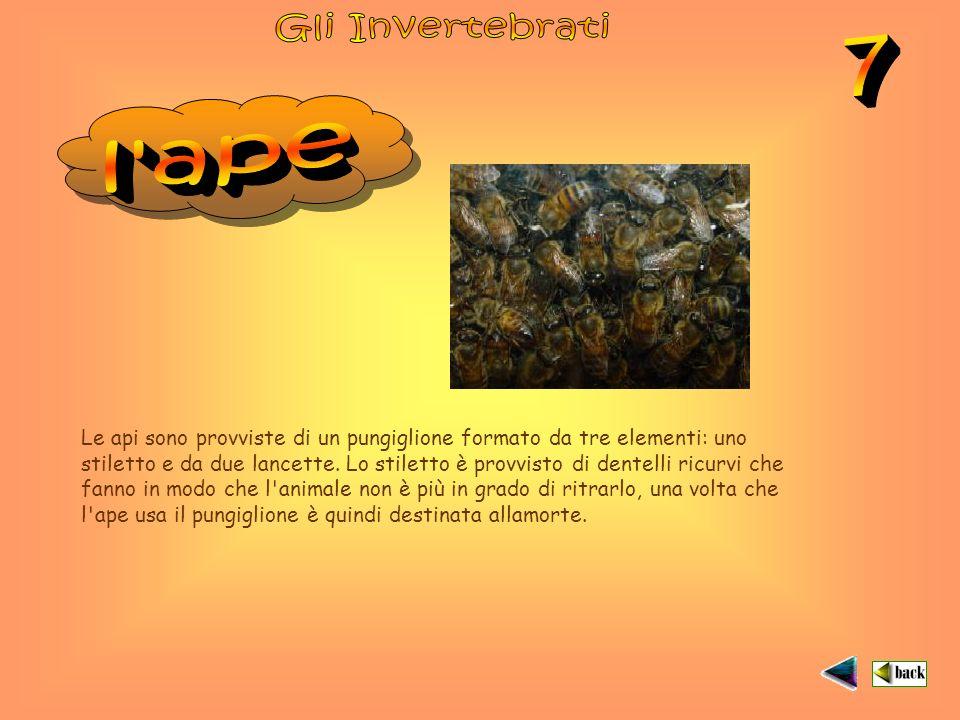Gli Invertebrati 7. l ape.
