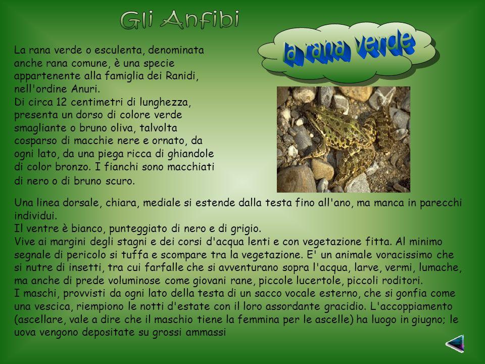 Gli Anfibi la rana verde