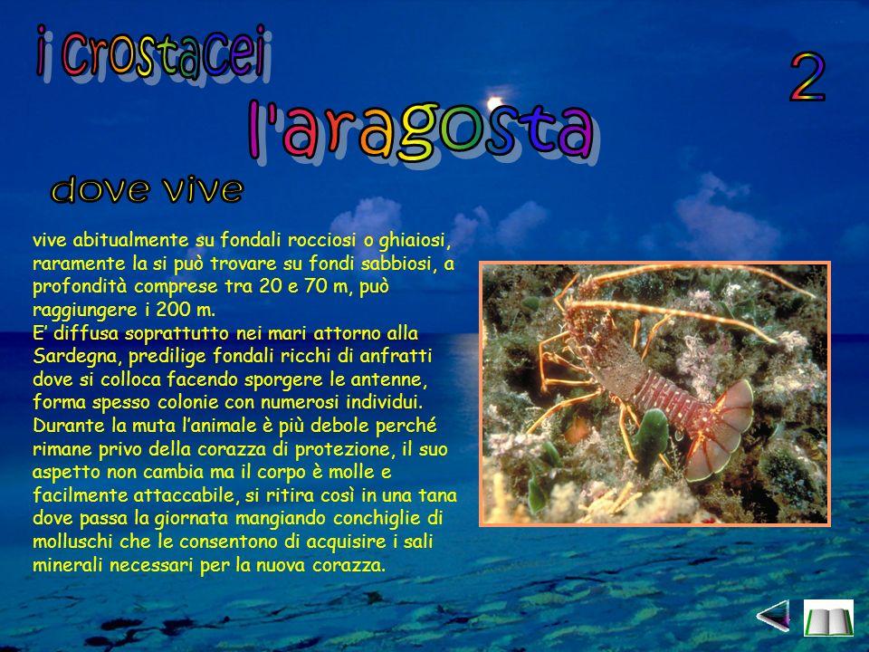 i crostacei 2 l aragosta dove vive