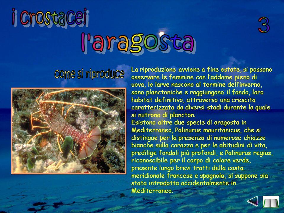 i crostacei 3 l aragosta come si riproduce