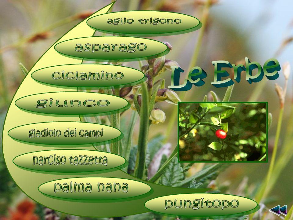 aglio trigono asparago. Le Erbe. ciclamino. giunco. gladiolo dei campi. narciso tazzetta. palma nana.