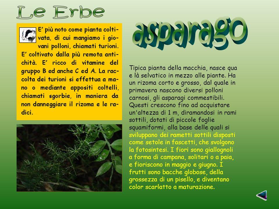 Le Erbe asparago.