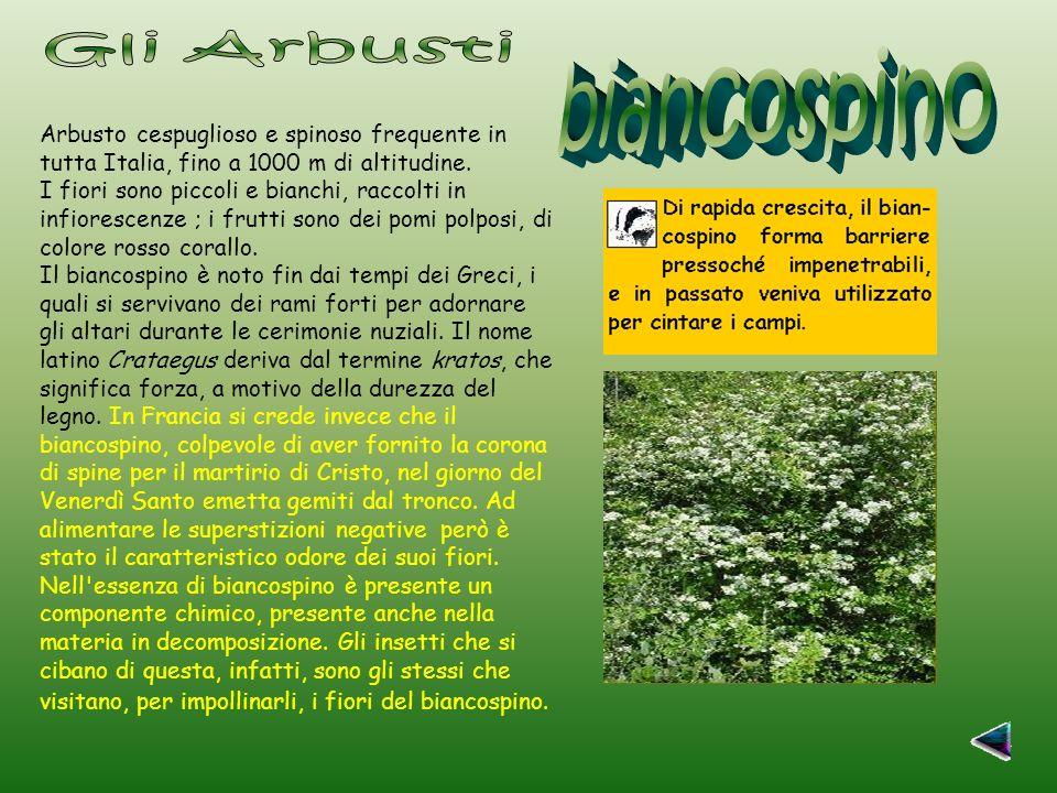 Gli Arbusti biancospino