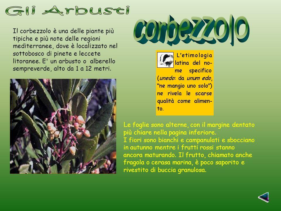 Gli Arbusti corbezzolo