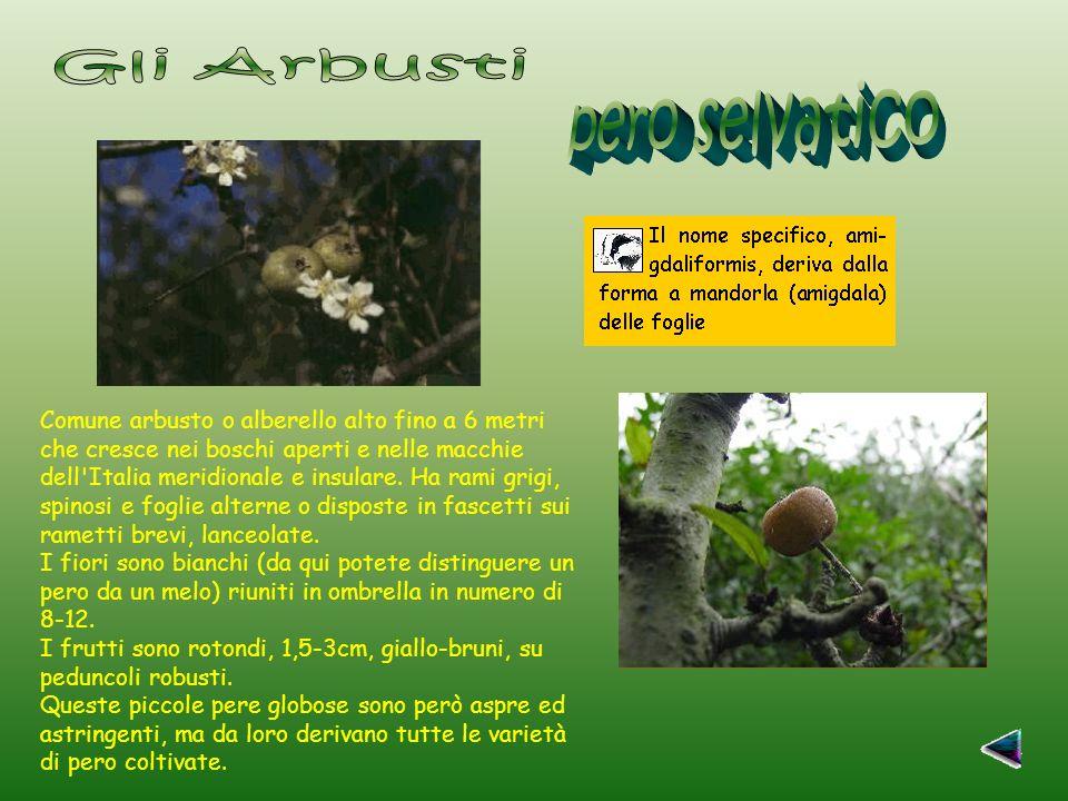 Gli Arbusti pero selvatico