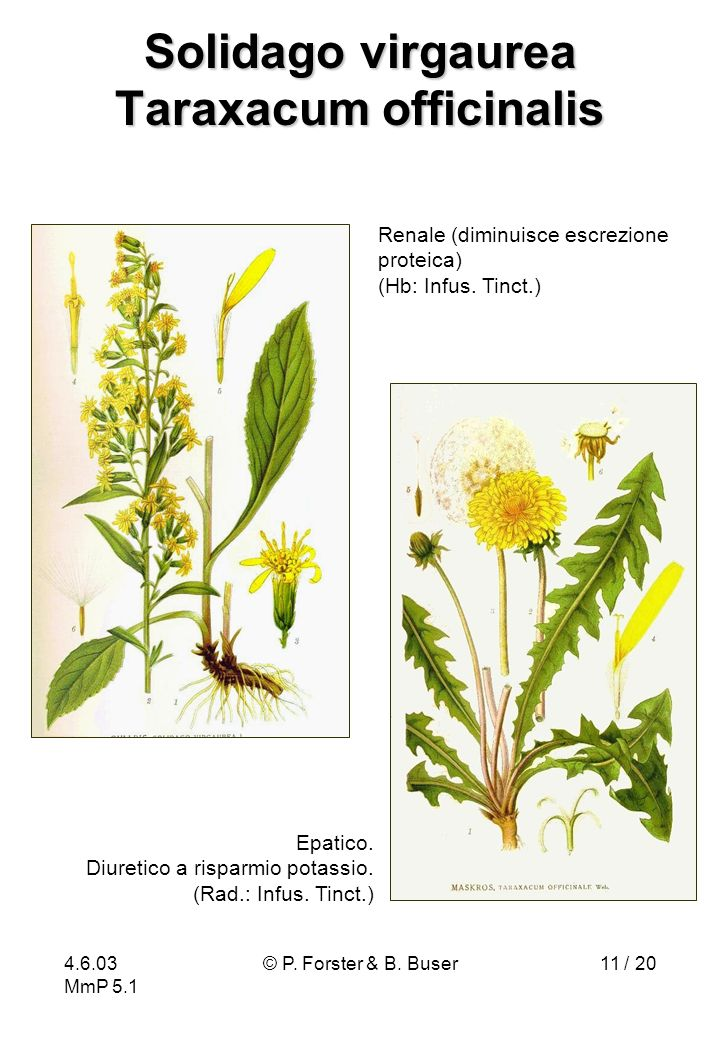 Solidago virgaurea Taraxacum officinalis