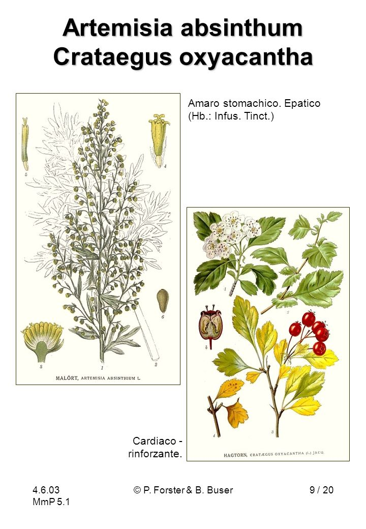 Artemisia absinthum Crataegus oxyacantha