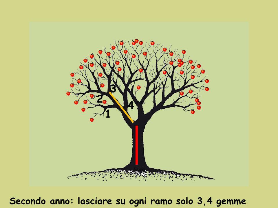 3 2 4 1 Secondo anno: lasciare su ogni ramo solo 3,4 gemme