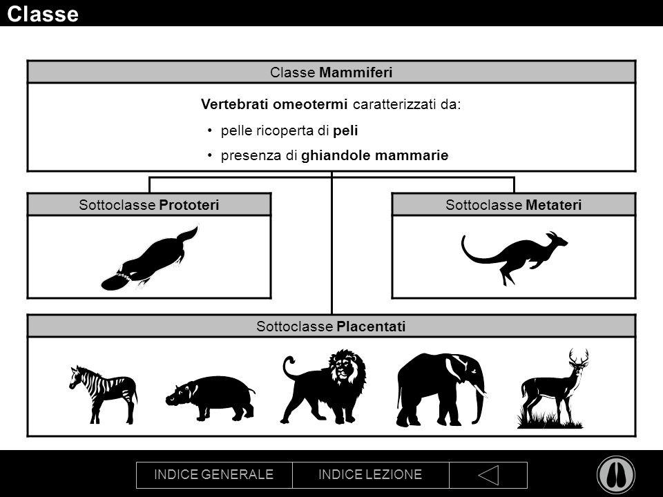 Classe Classe Mammiferi Vertebrati omeotermi caratterizzati da: