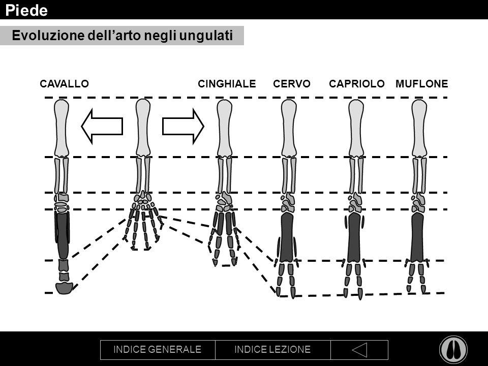 Piede Evoluzione dell'arto negli ungulati CAVALLO CINGHIALE CERVO