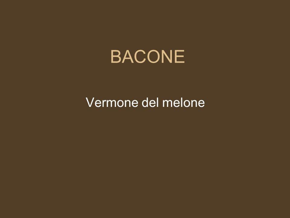 BACONE Vermone del melone