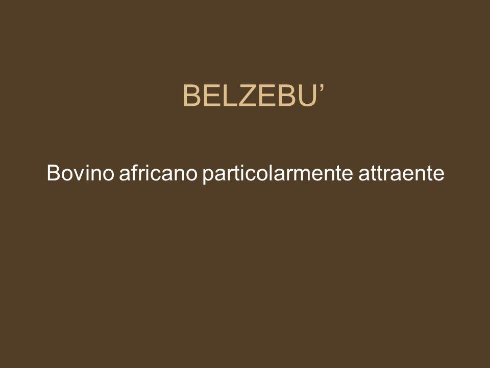 Bovino africano particolarmente attraente