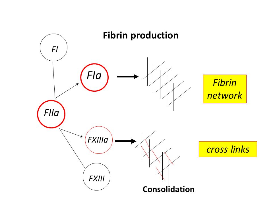 FIa Fibrin production Fibrin network FIIa cross links FI FXIIIa FXIII