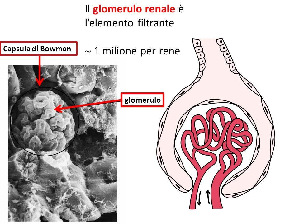 Il glomerulo renale è l'elemento filtrante