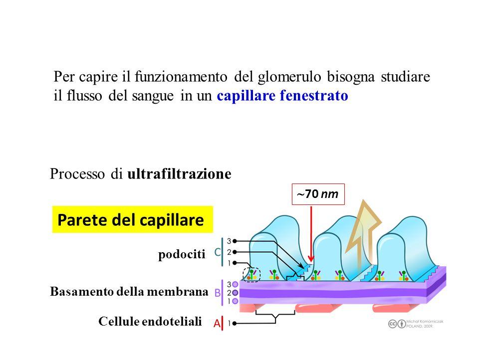 Per capire il funzionamento del glomerulo bisogna studiare il flusso del sangue in un capillare fenestrato