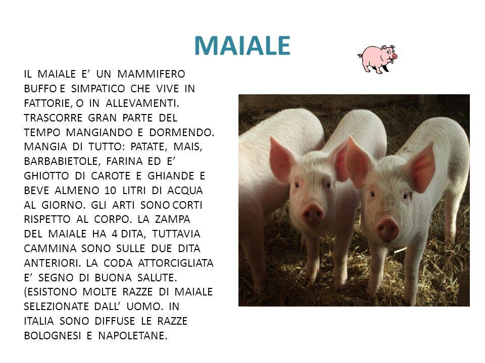MAIALEIL MAIALE E' UN MAMMIFERO BUFFO E SIMPATICO CHE VIVE IN FATTORIE, O IN ALLEVAMENTI.