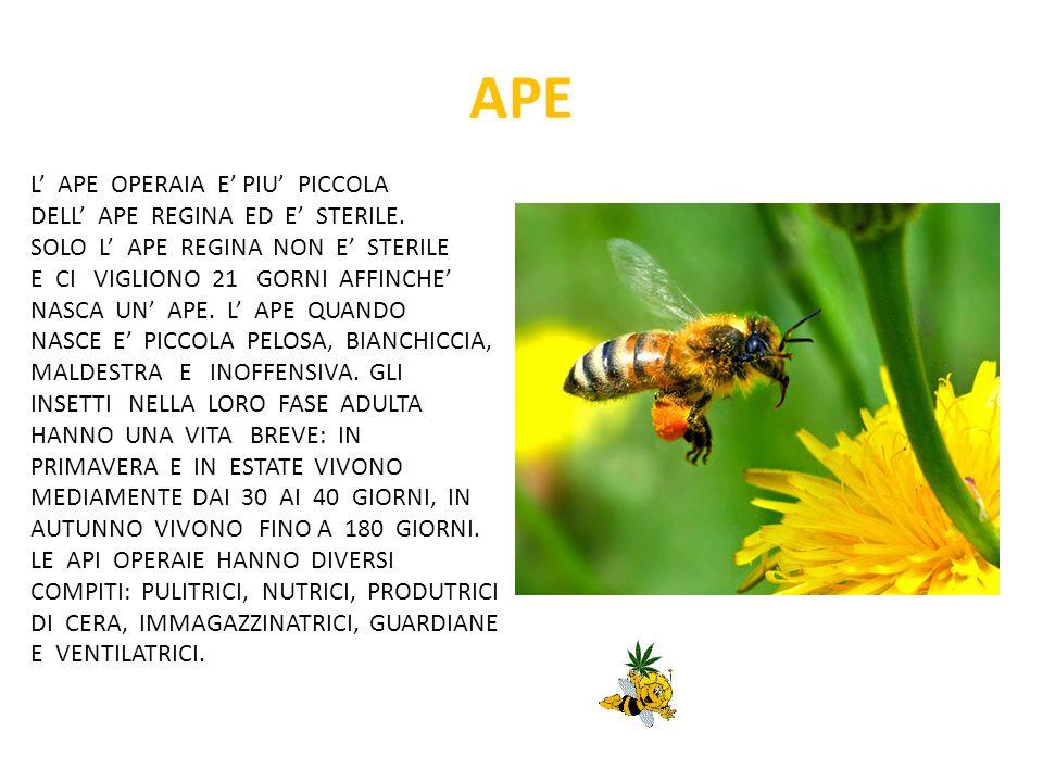 APE L' APE OPERAIA E' PIU' PICCOLA DELL' APE REGINA ED E' STERILE.