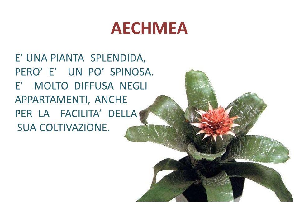 AECHMEA E' UNA PIANTA SPLENDIDA, PERO' E' UN PO' SPINOSA.