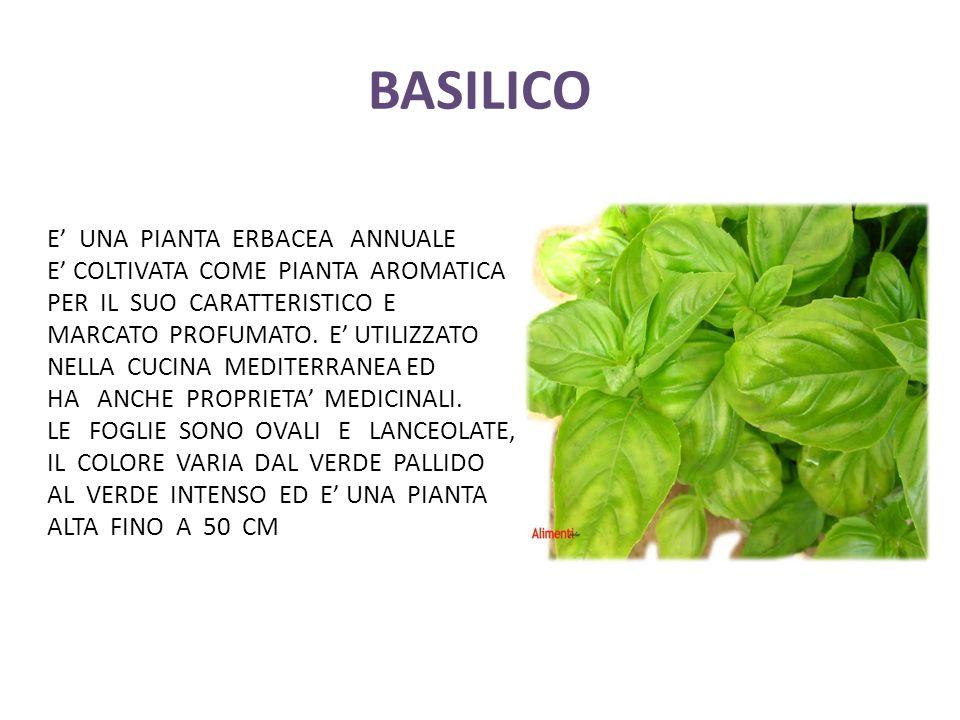 BASILICO E' UNA PIANTA ERBACEA ANNUALE