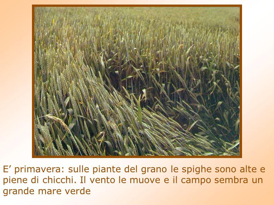 E' primavera: sulle piante del grano le spighe sono alte e piene di chicchi.