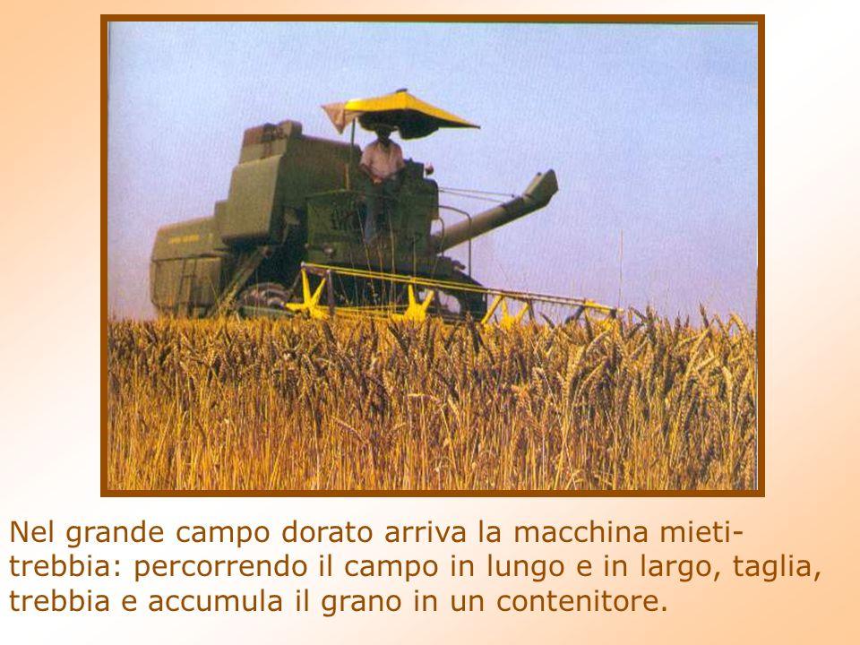 Nel grande campo dorato arriva la macchina mieti-trebbia: percorrendo il campo in lungo e in largo, taglia, trebbia e accumula il grano in un contenitore.