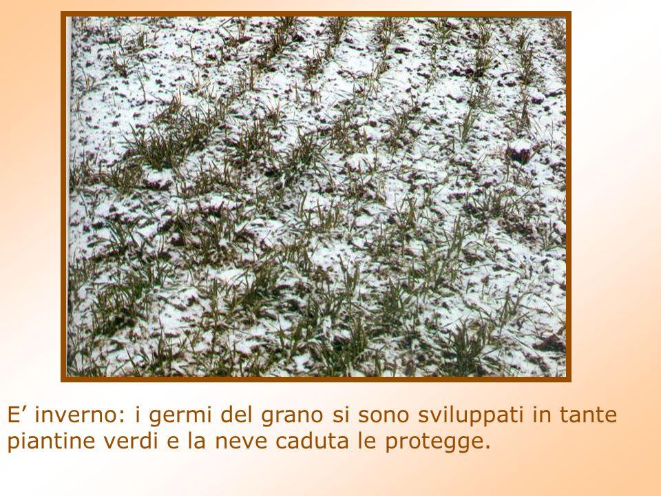 E' inverno: i germi del grano si sono sviluppati in tante piantine verdi e la neve caduta le protegge.