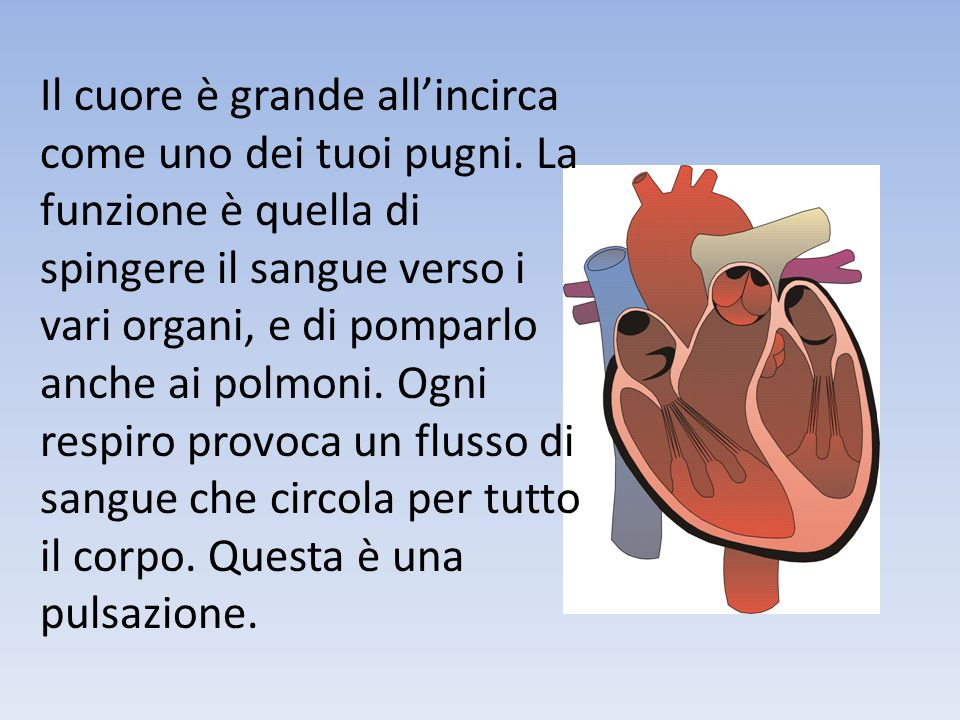 Il cuore è grande all'incirca come uno dei tuoi pugni