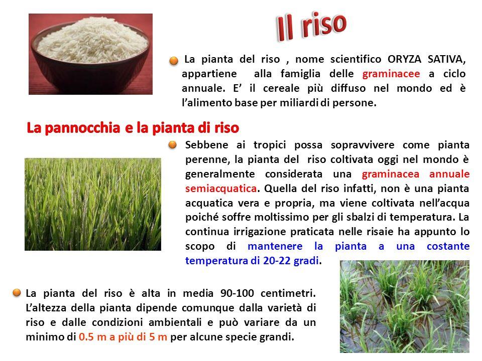 La pannocchia e la pianta di riso