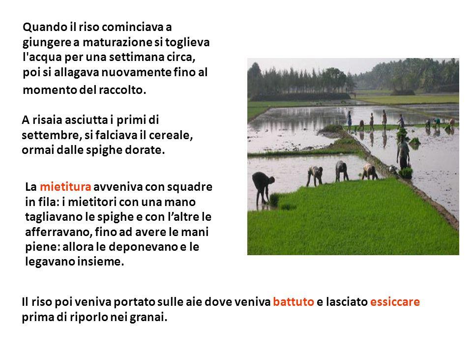 Quando il riso cominciava a giungere a maturazione si toglieva l acqua per una settimana circa, poi si allagava nuovamente fino al momento del raccolto.