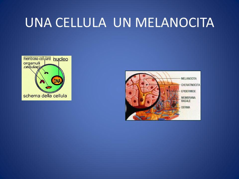UNA CELLULA UN MELANOCITA