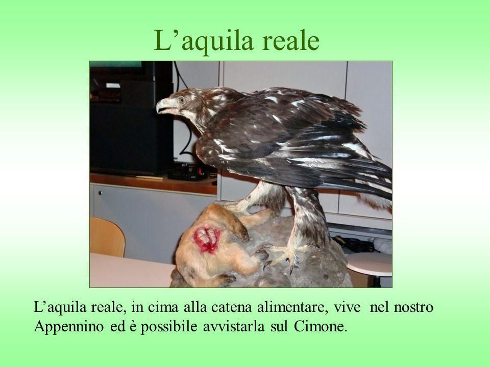 L'aquila reale L'aquila reale, in cima alla catena alimentare, vive nel nostro Appennino ed è possibile avvistarla sul Cimone.