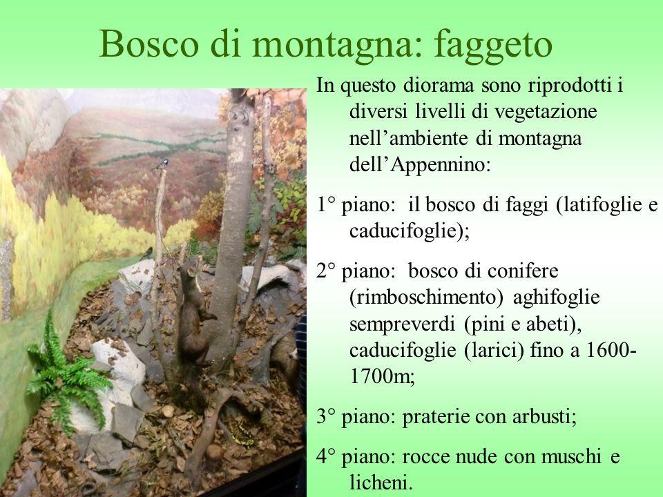 Bosco di montagna: faggeto