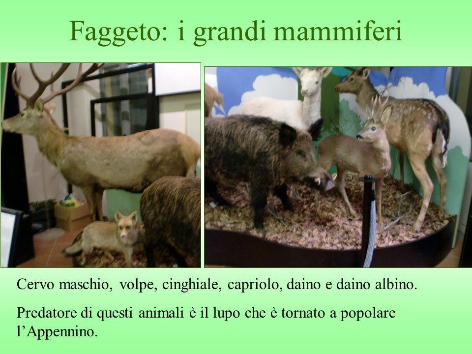 Faggeto: i grandi mammiferi