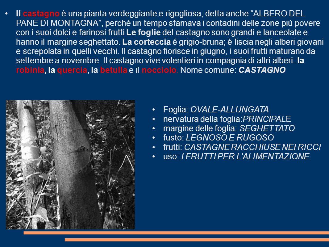 Il castagno è una pianta verdeggiante e rigogliosa, detta anche ALBERO DEL PANE DI MONTAGNA , perché un tempo sfamava i contadini delle zone più povere con i suoi dolci e farinosi frutti Le foglie del castagno sono grandi e lanceolate e hanno il margine seghettato. La corteccia é grigio-bruna; è liscia negli alberi giovani e screpolata in quelli vecchi. Il castagno fiorisce in giugno, i suoi frutti maturano da settembre a novembre. Il castagno vive volentieri in compagnia di altri alberi: la robinia, la quercia, la betulla e il nocciolo. Nome comune: CASTAGNO