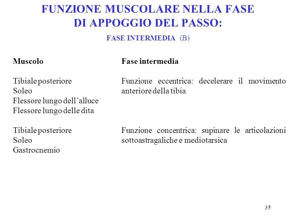 FUNZIONE MUSCOLARE NELLA FASE DI APPOGGIO DEL PASSO: FASE INTERMEDIA (B)