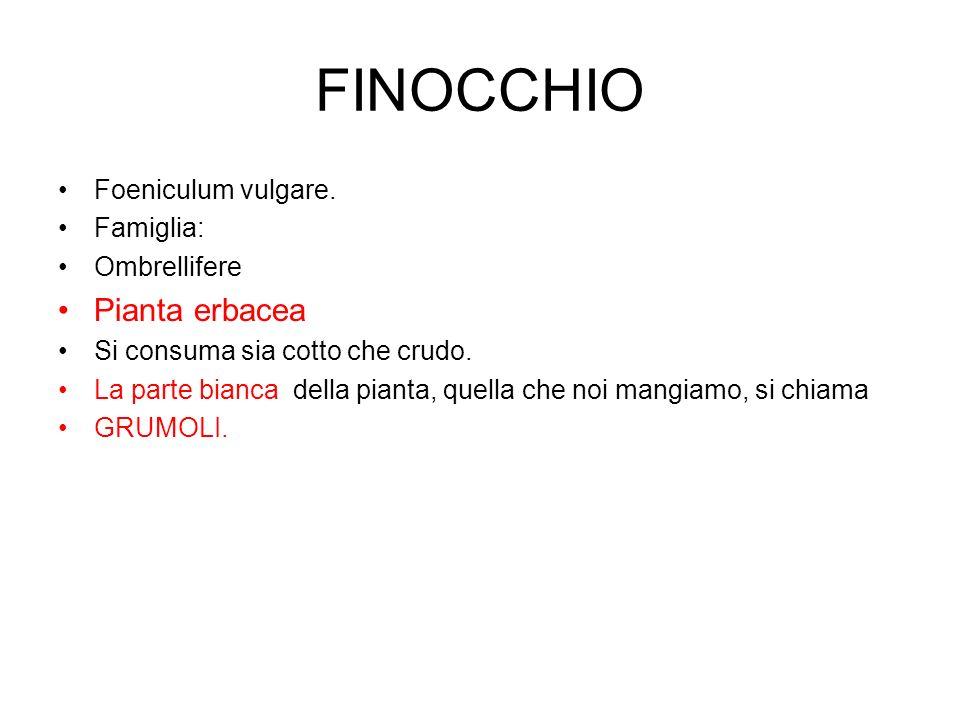 FINOCCHIO Pianta erbacea Foeniculum vulgare. Famiglia: Ombrellifere