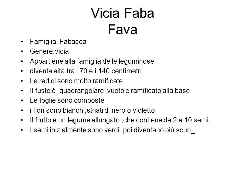 Vicia Faba Fava Famiglia. Fabacea Genere:vicia