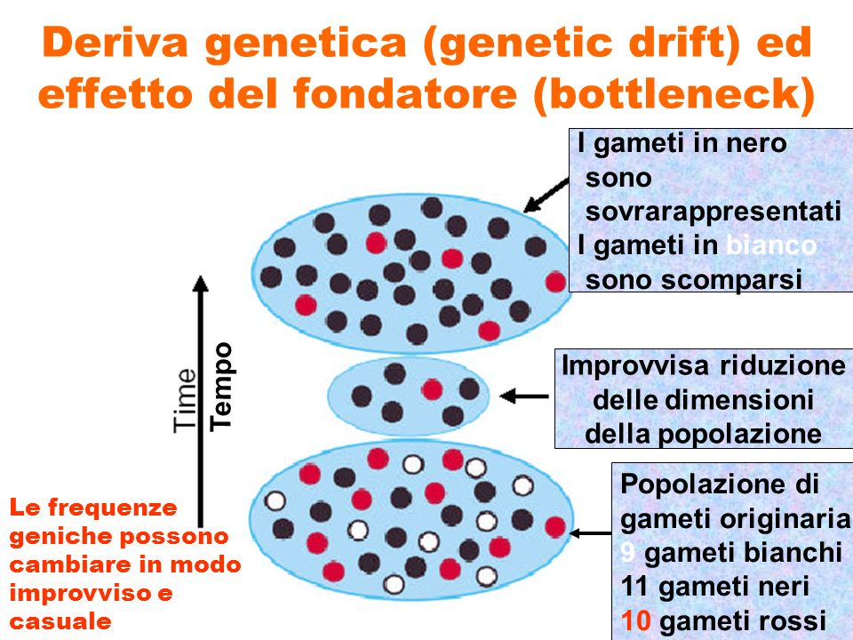 Deriva genetica (genetic drift) ed effetto del fondatore (bottleneck)