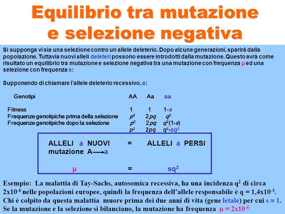 Equilibrio tra mutazione e selezione negativa