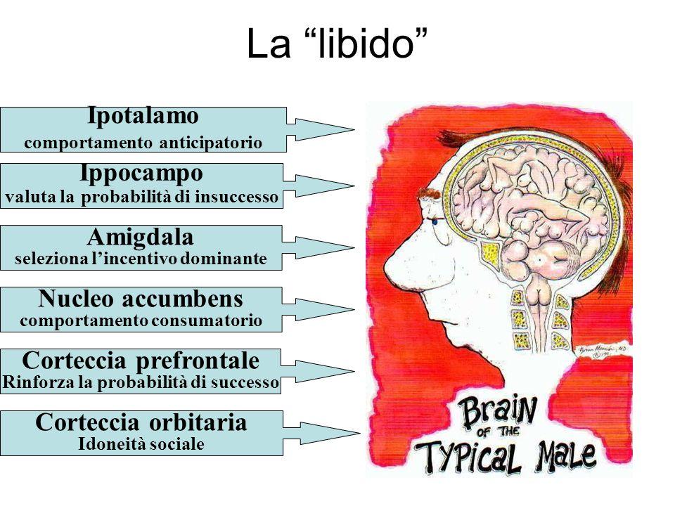 La libido Ipotalamo Ippocampo Amigdala Nucleo accumbens