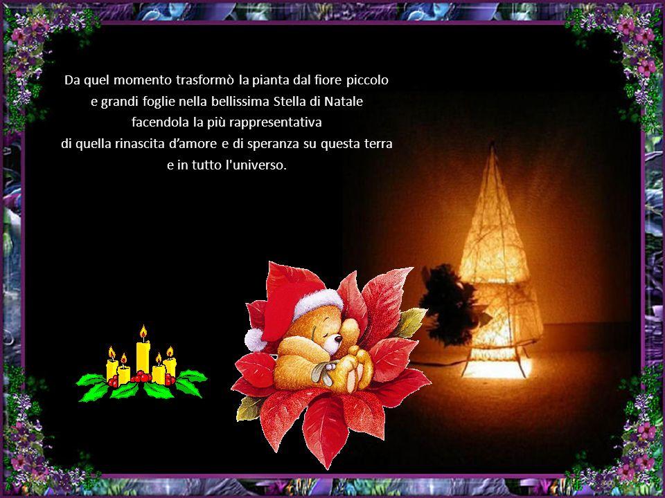 Da quel momento trasformò la pianta dal fiore piccolo e grandi foglie nella bellissima Stella di Natale facendola la più rappresentativa di quella rinascita d'amore e di speranza su questa terra e in tutto l universo.