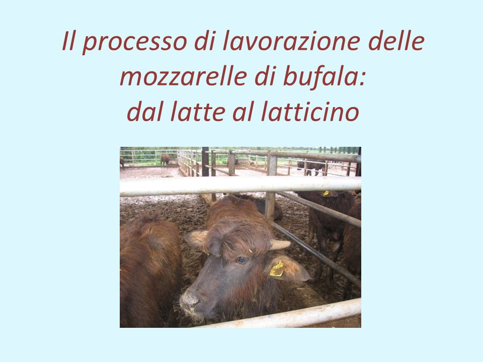 Il processo di lavorazione delle mozzarelle di bufala: dal latte al latticino