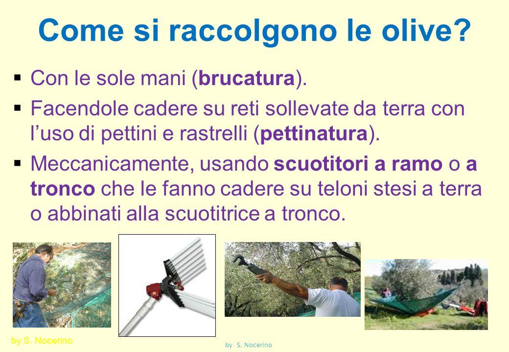 Come si raccolgono le olive